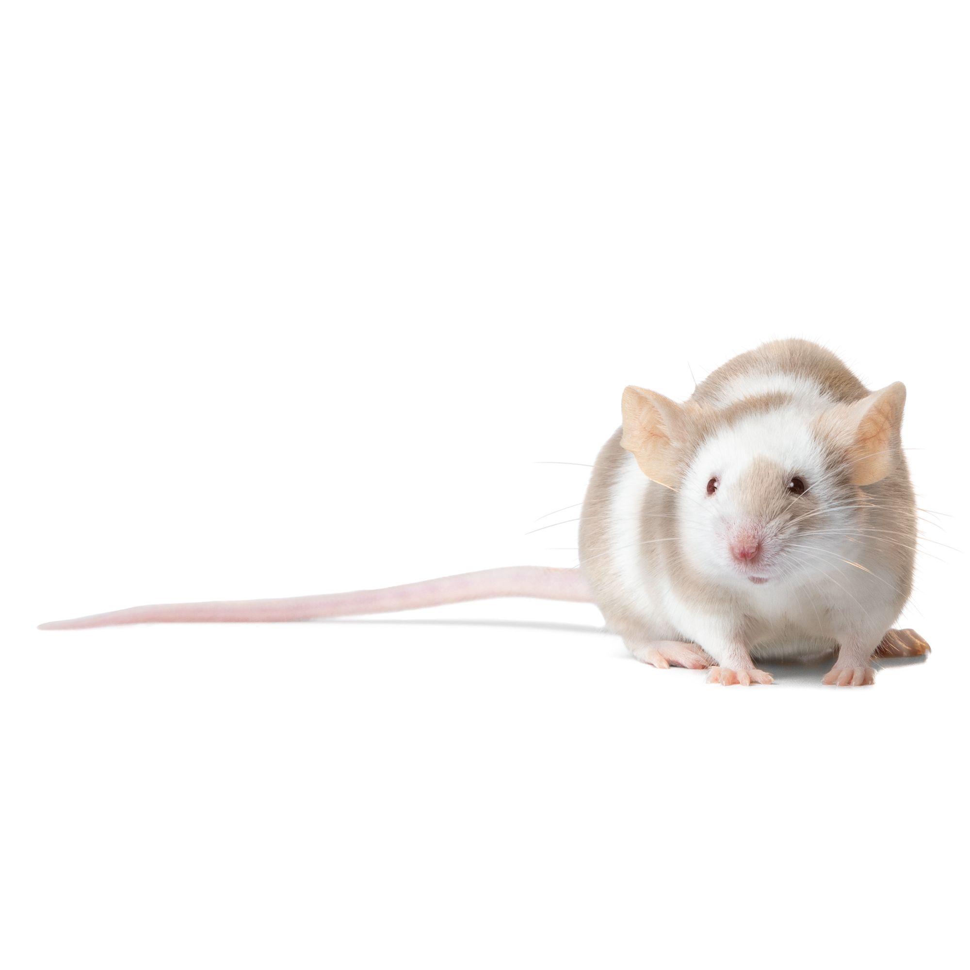 Long Haired Hamster Petsmart 21