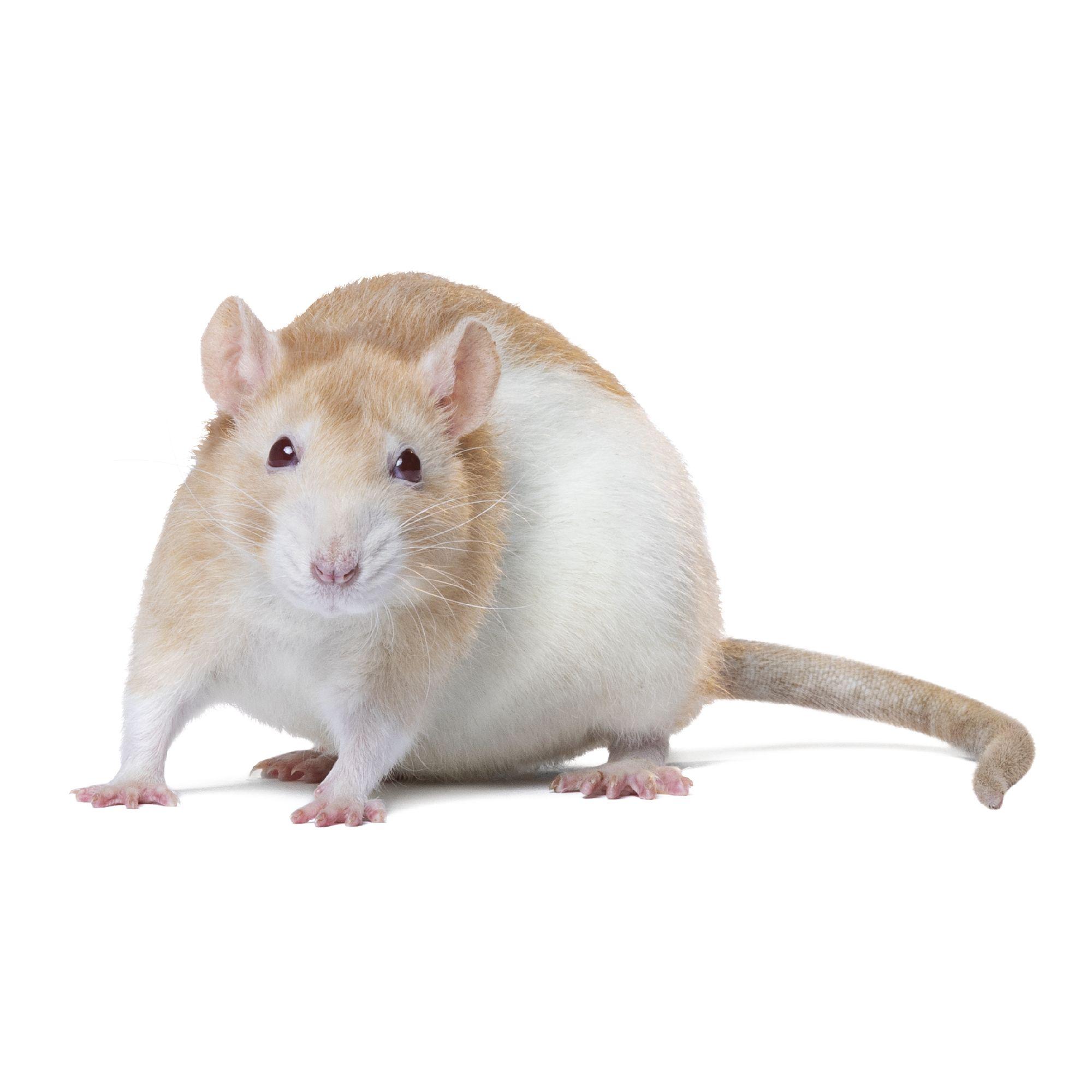 Fancy Rat Small Pet Hamsters Guinea Pigs More Petsmart