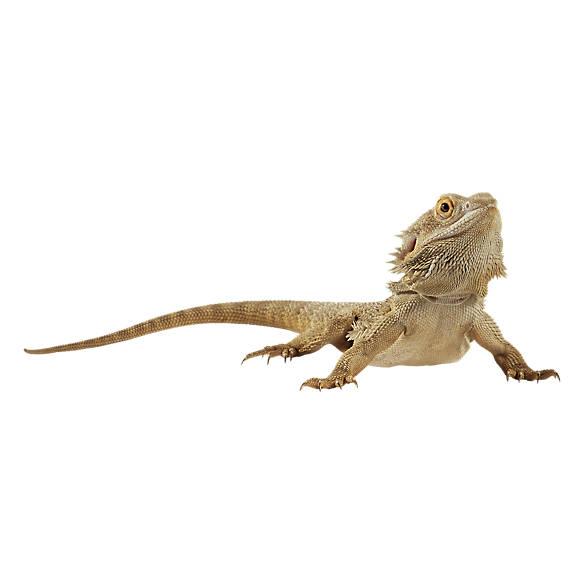Bearded Dragon For Sale Live Pet Reptiles Petsmart