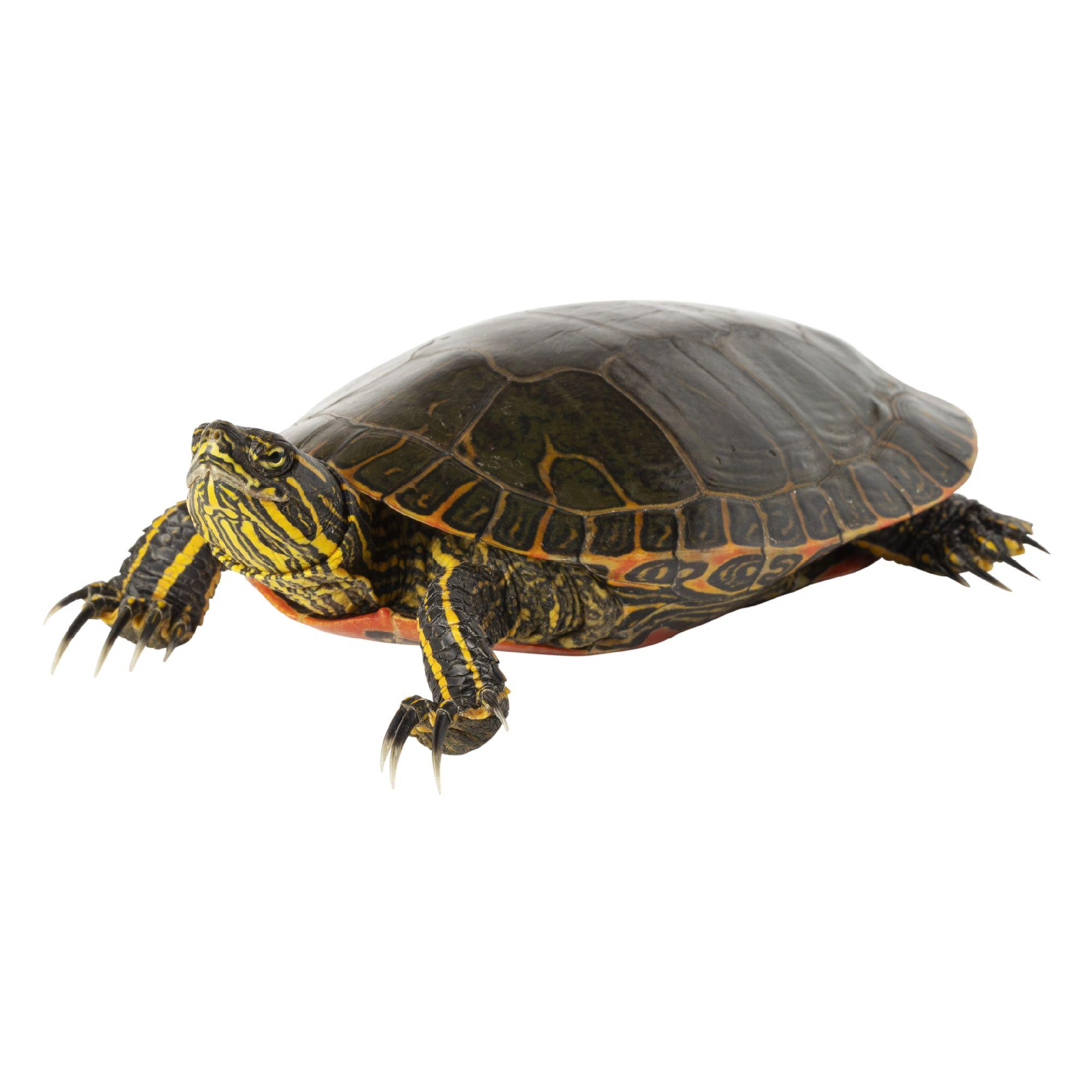 Painted Turtle For Sale Live Pet Reptiles Petsmart