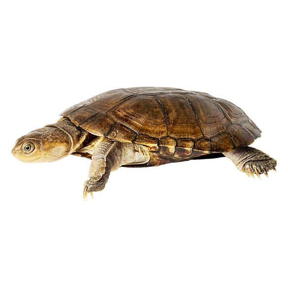 African Sideneck Turtle | reptile Snakes, Turtles & More ...