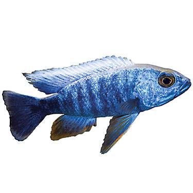 Electric blue african cichlid fish goldfish betta for Petsmart betta fish price