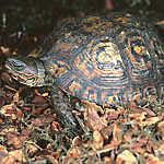 Ornate Wood Turtle