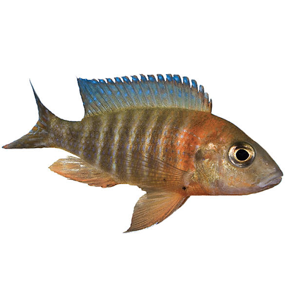 Peacock cichlid fish goldfish betta more petsmart for Petsmart live fish