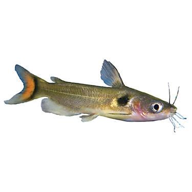 Eclipse catfish fish goldfish betta more petsmart for Betta fish at petsmart