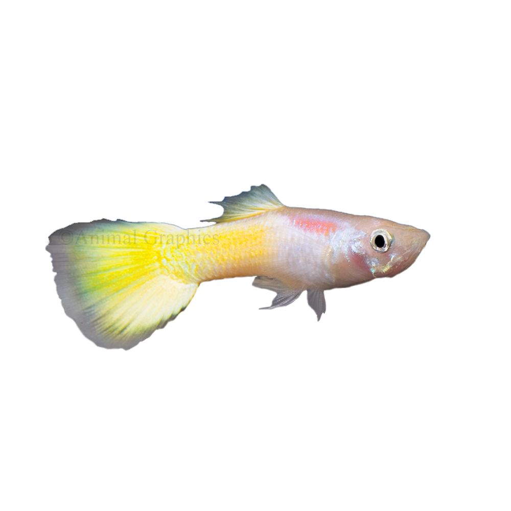 Yellow Guppy Fish Goldfish Betta More Petsmart