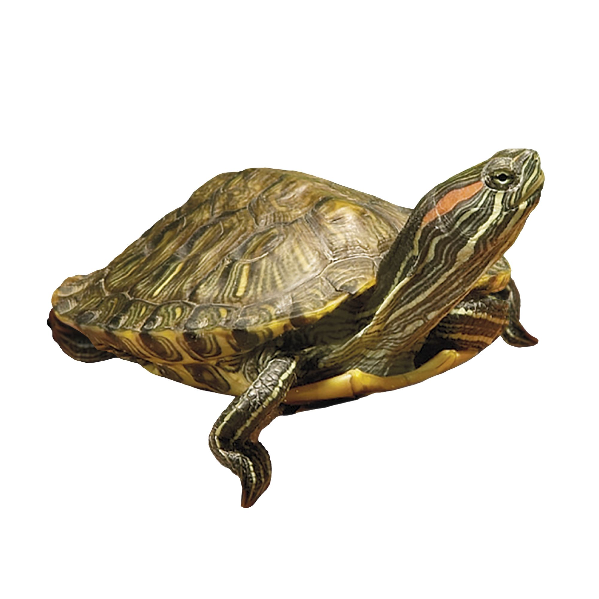 Red Eared Slider Reptile Snakes Turtles More Petsmart