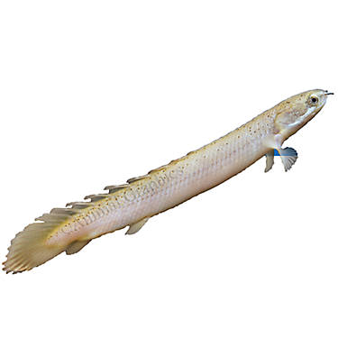 Dinosaur bichir fish goldfish betta more petsmart for Betta fish tanks petsmart