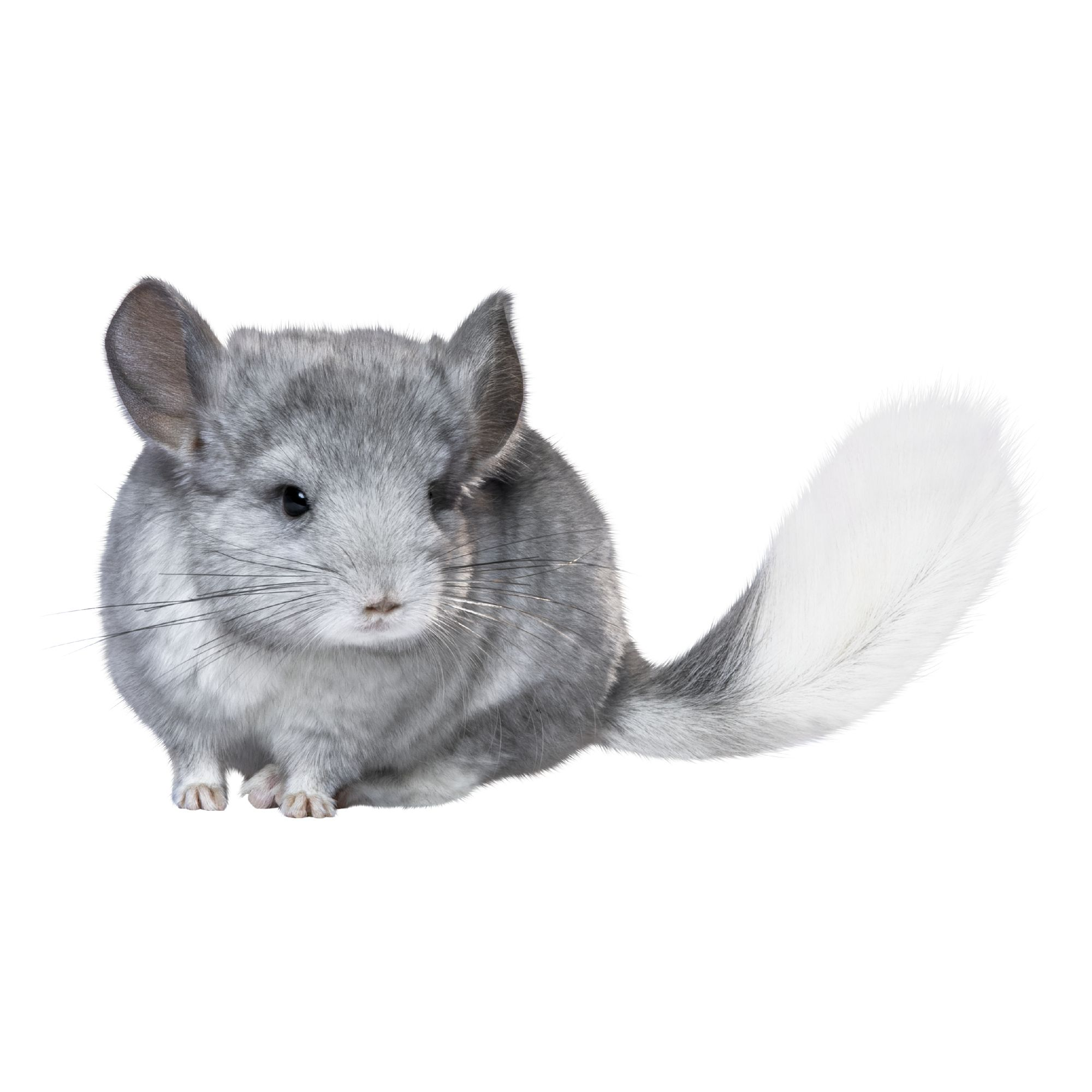 Female Chinchilla For Sale Live Small Pets Petsmart