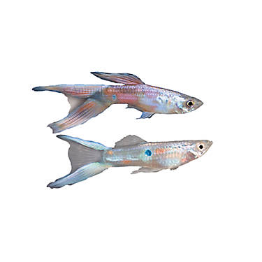 Lyretail delta guppy fish goldfish betta more petsmart for Betta fish petsmart