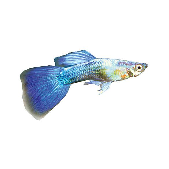 Turquoise guppy fish goldfish betta more petsmart for Petsmart live fish