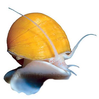 Ivory mystery snail fish goldfish betta more petsmart for Petsmart live fish