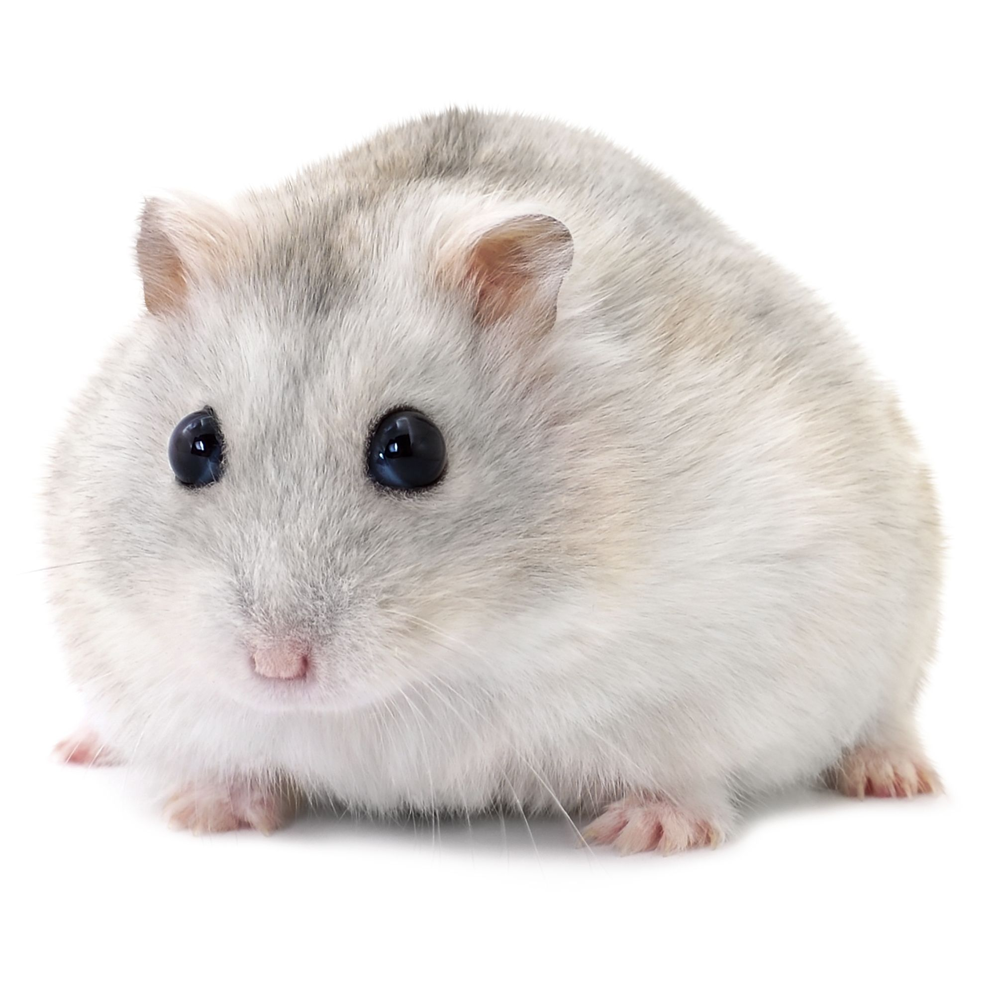 how much is a hamster at petco