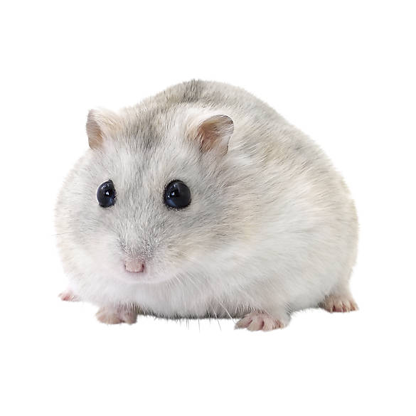 Female Winter White Hamster | small pet Hamsters, Guinea ...