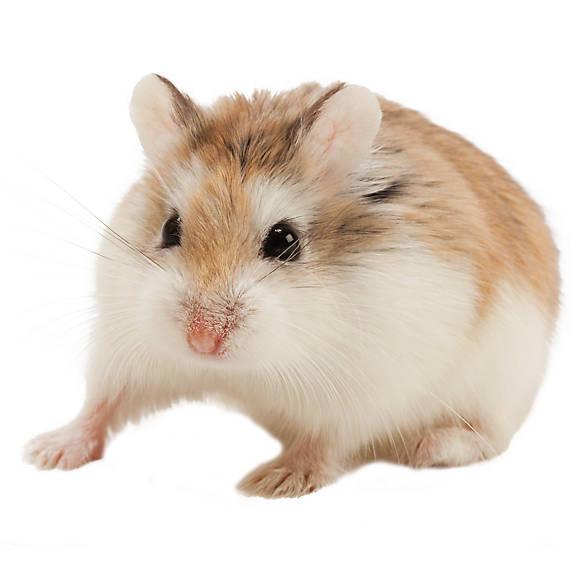 Male Roborovski Dwarf Hamster For Sale | Live Small Pets ...