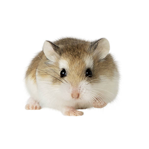 Female Robo Dwarf Hamster | small pet Hamsters, Guinea ...