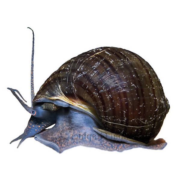 Mystery snail fish goldfish betta more petsmart for Betta fish petsmart