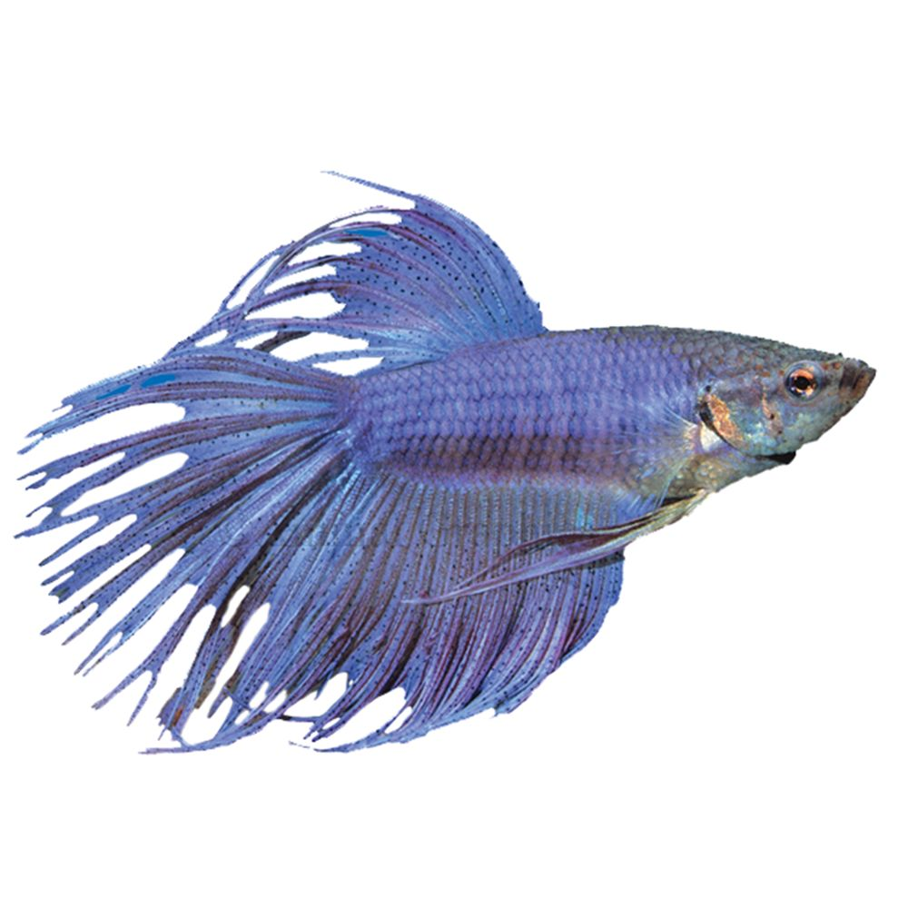 Crowntail Betta Fish For Sale Live Pet Fish Petsmart