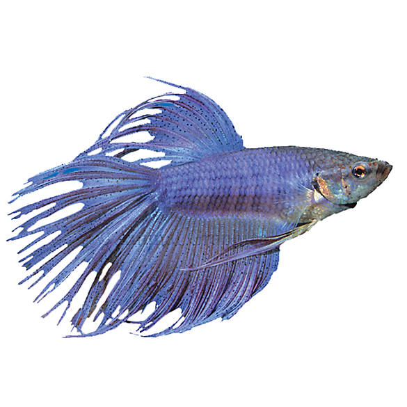 Crowntail betta fish goldfish betta more petsmart for Betta fish petsmart