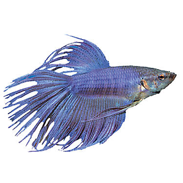 Crowntail betta fish goldfish betta more petsmart for What kind of fish can live with a betta