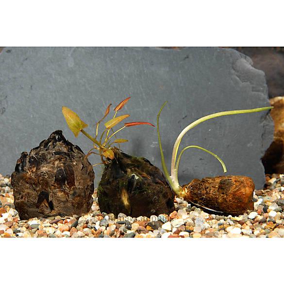 Top fin plant bulbs fish live plants petsmart for Petsmart fish decor