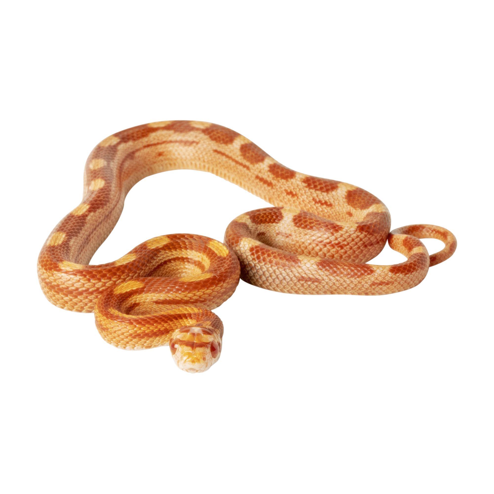 Fancy Corn Snake For Sale Live Pet Reptiles Petsmart