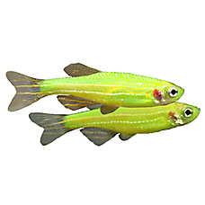 Danio Glofish