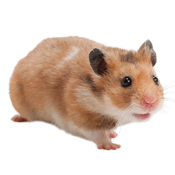 Male Fancy Bear Hamster