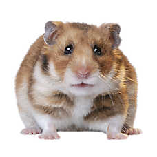 Female Fancy Bear Hamster