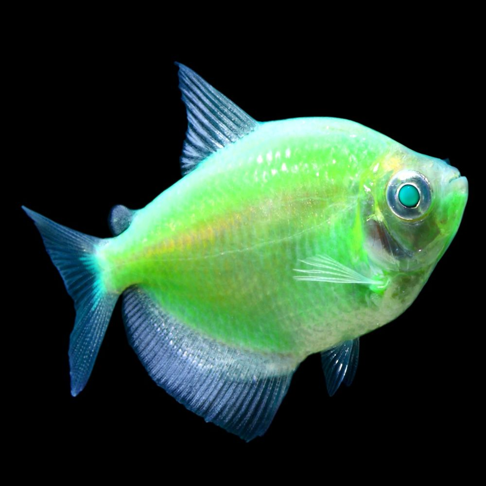 Glofish Electric Green Tetra Fish Goldfish Betta More Petsmart