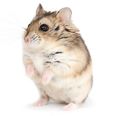 Male Russian Dwarf Hamster | small pet Hamsters, Guinea ...