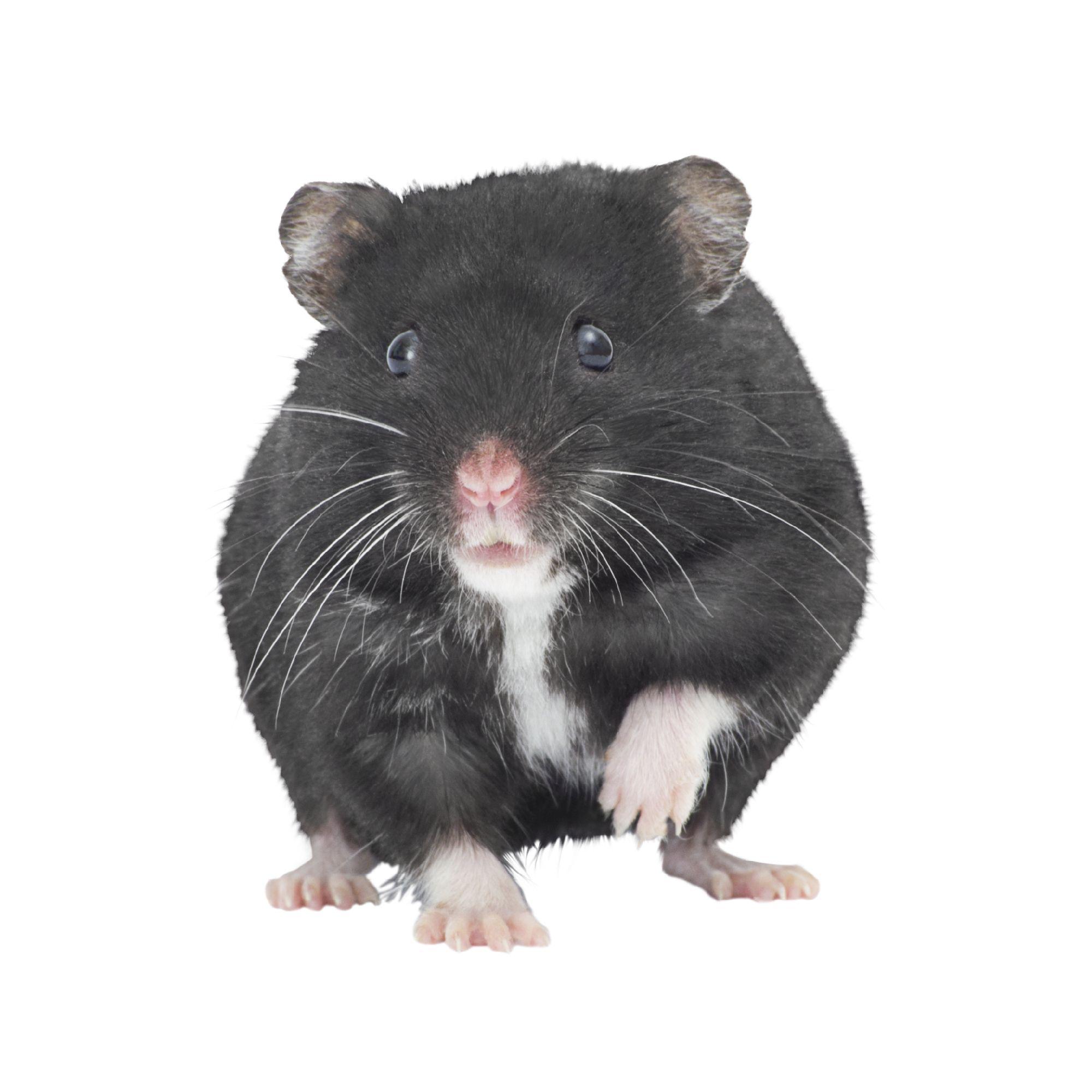 Russian Dwarf Hamster Small Pet Hamsters Guinea Pigs More Petsmart