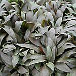 Cryptocoryne Undulata Aquarium Plant