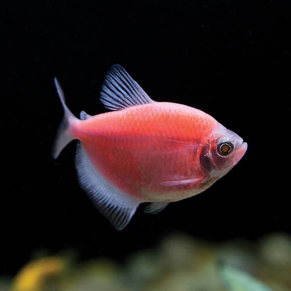Glofish moonrise tetra fish goldfish betta more for Petsmart live fish