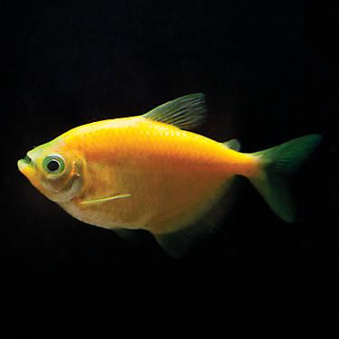 GloFish® Sunburst Tetra | fish Goldfish, Betta & More ...
