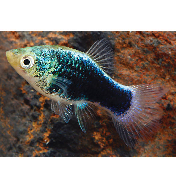 Green lantern platy fish goldfish betta more petsmart for Petsmart live fish