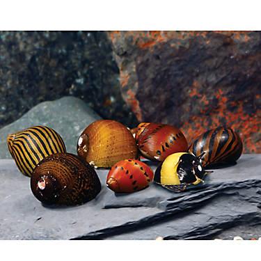 Nerite snails | APSA