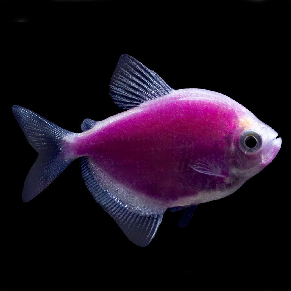 Glofish Galactic Purple Tetra Fish Goldfish Betta More Petsmart