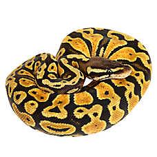 Pastel Ball Python