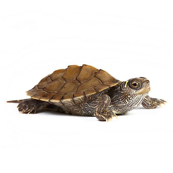Pet Reptiles For Sale: Snakes, Geckos, Turtles & More | PetSmart