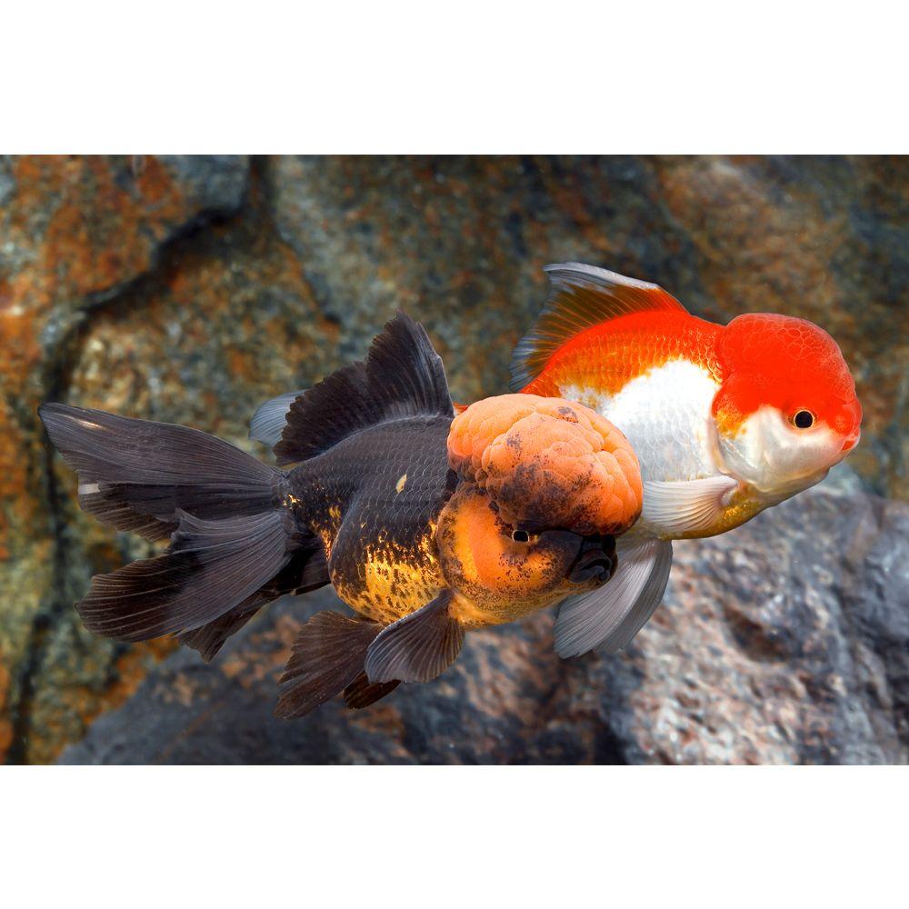 Oranda Goldfish Fish Goldfish Betta More Petsmart