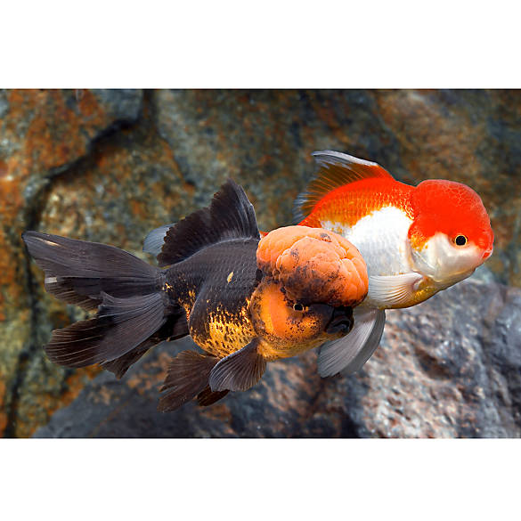 Goldfish for Sale: Betta & other Fish Near You | PetSmart