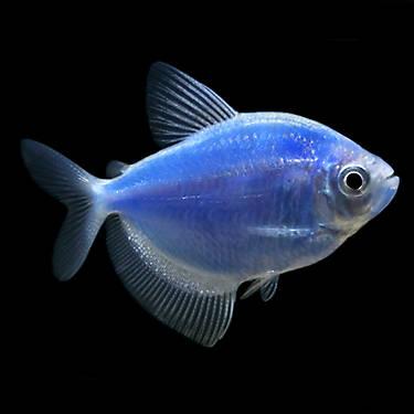Glofish cosmic blue tetra fish fish goldfish betta for Petsmart live fish