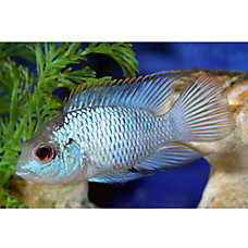 Electric Blue Acara Cichlid Fish