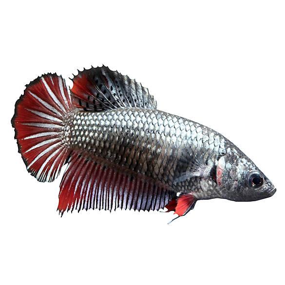 Petsmart Betta Fish