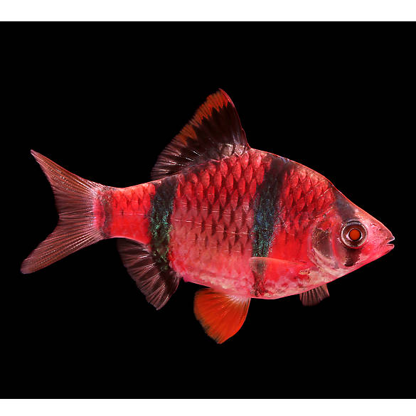Glo fish starfire red tiger barb fish goldfish betta for Tiger barb fish