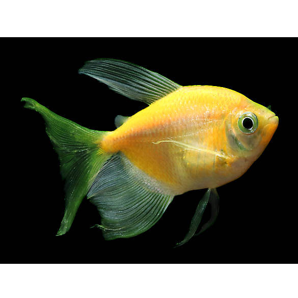 Glo fish sunburst orange long fin tetra fish goldfish for Glo tetra fish