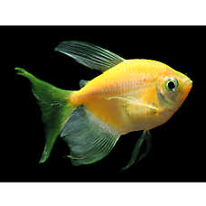 GLO®Fish Sunburst Orange Long Fin Tetra