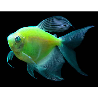 Glo fish electric green long fin tetra fish goldfish for How long can a betta fish live