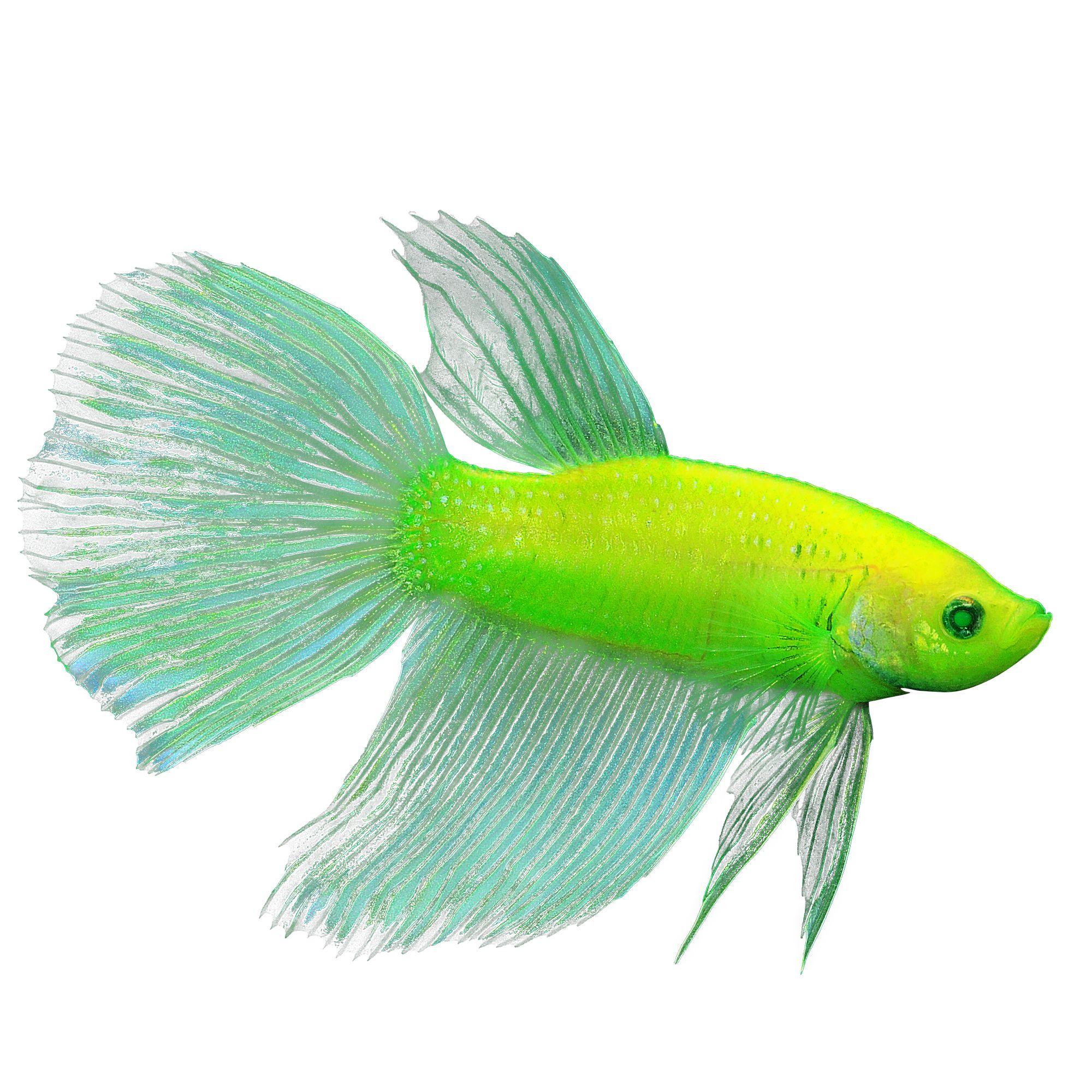 Glofish Electric Green Premium Male Betta Fish Fish Goldfish Betta More Petsmart
